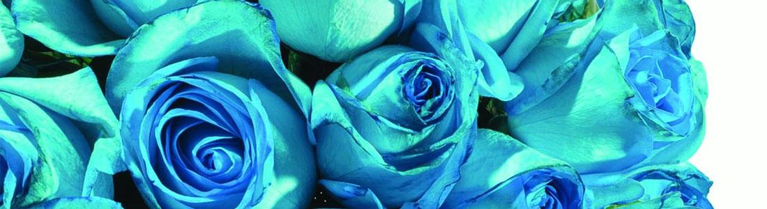 rosas turquesa